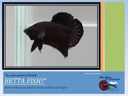 Betta Genetics Chart So You Want To Breed Bettas