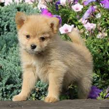 pomeranian mix puppies for
