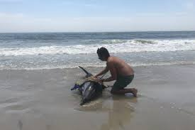 Watch Sea Isle City Lifeguards Try To Save An Injured Dolphin