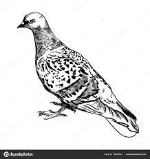 голубь птица мира реалистично эскиз рука рисунок для вашего
