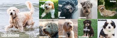 Aussiedoodle Size Chart Compare The Labradoodle To Other Popular Doodle Dog Breeds