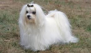maltese dog. maltese dog