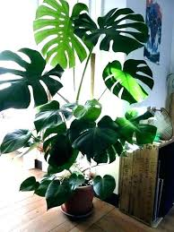 trees house plants types of indoor trees indoor plants and trees types of indoor plants indoor