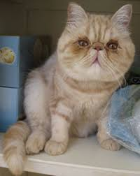 exotic shorthair. Plain Exotic Male Exotic Shorthair U2013 12 Months In H