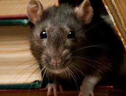 Rat Control & Removal, How To Get Rid Of Rats - Wildlife Removal