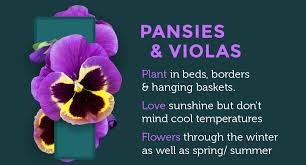 are some of the most popular and versatile garden plants use them in beds and borders containers and hanging baskets in full sun or partial shade