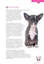 Chihuahua Color Chart What Is A Blue Chihuahua How Are Blue Chihuahua Puppies