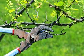 ACES Publications  Fruit Culture In Alabama Training And Pruning Prune Fruit Tree