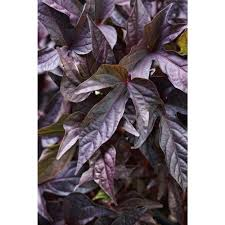 purple sweet potato plant. Contemporary Purple Proven Winners Sweet Caroline Raven Potato Vine Ipomoea Live Plant  Purple For Purple Plant T