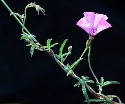 Convolvulus althaeoides L. | Flora of Israel Online
