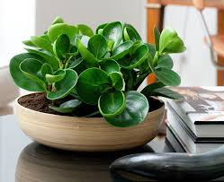 plants that are perfect for coffee tables best office plant no sunlight