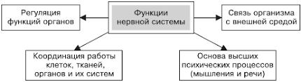 Реферат Нервная система человека com Банк рефератов  Нервная система человека