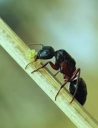 s fourmis noires