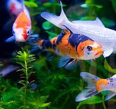 petsmart animals fish. Contemporary Petsmart Koi Care Guide With Petsmart Animals Fish