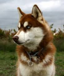 red husky puppy blue eyes. Beautiful Red Red Husky With Blue Eyes With Red Husky Puppy Blue Eyes