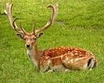 Download Foto Free Stock Photo Of Animal, Antler, Deer