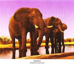 essay on wild animals top essays wildlife geography elephant elephas maximus