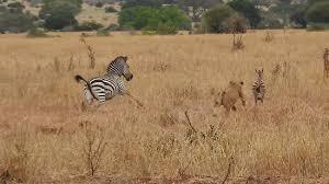 lioness hunting zebra. Contemporary Zebra Tarangire National Park Lioness Hunting A Little Zebra Mother Zebra  Sprinting To Zebrau0027s And Hunting Zebra I