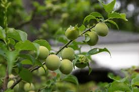 How To Plant Fruit Trees With Pictures  WikiHowDo You Need 2 Plum Trees To Produce Fruit