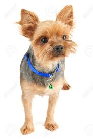 The puppy style is based on cutting the ends of the hair, leaving a maximum uniform length of 3 centimetres. Yorkshire Terrier With Short Hair Isolated On White Background Stock Photo Picture And Royalty Free Image Image 94247476