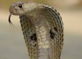 king cobra snake fangs. Wonderful Fangs And King Cobra Snake Fangs G