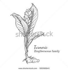 image result for botanical drawings of herbs turmeric