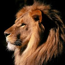 awesome lion wallpapers new ipad mini wallpapers hd 1024x1024