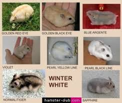 Winter White Hamster Colors Winter White Hamster Dwarf