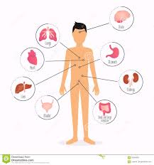 Organs In The Human Body Human Body With Internal Organs Human Body Health Care