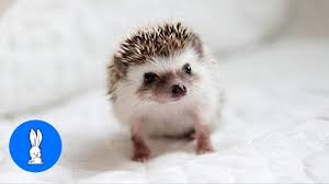 <b>Cute Little Hedgehogs</b> Compilation / TRY NOT TO AWW! - YouTube