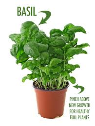 5 herbs to grow indoors this winter food bloggers of canada