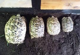 Leopard Tortoise Size Chart Leopard Tortoise Growth Rates Leopard Tortoises