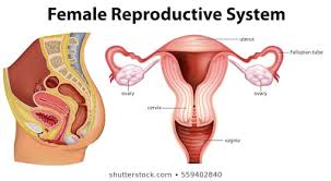 Female Reproductive System Chart Reproductive System Images Stock Photos Vectors
