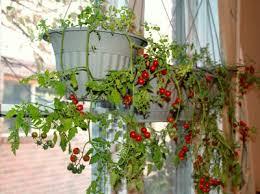 indoor tomato garden. Hanging Indoor Cherry Tomato Garden T