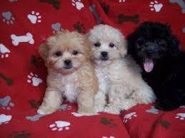 kapoo puppy for goldenacresdogs