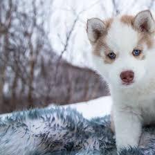 baby husky in snow. Modren Husky Header Intended Baby Husky In Snow N
