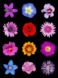 colored pictures of flowers. Plain Pictures FileColored Flowers Bjpg For Colored Pictures Of Flowers