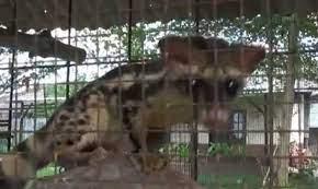 Hewan Langka Sejenis Marsupilami Ini Ada di Pangkal Pinang - Video  Dailymotion