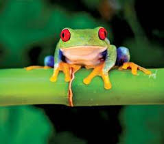 image of a frog.  Frog RedEyed Tree Frog In Image Of A