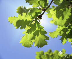 Oak Tree Comparison Chart Types Of Oak Trees Learn About Different Oak Tree Varieties