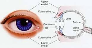 Eyelid Anatomy Eyelids And Eyelashes Human Anatomy Organs