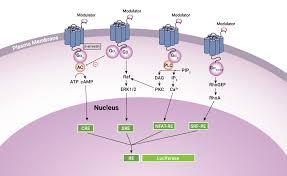 Gpcr Signaling Drug Discovery Gpcr Research