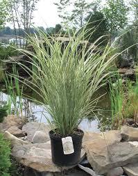 Tall Decorative Grass Medford Nursery Ornamental Grass