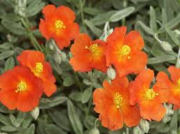 Sun rose, or helianthemum, good ground cover - SFGate
