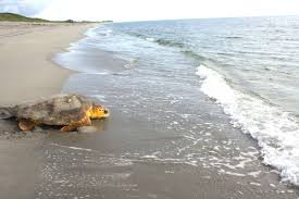 The Remarkable Journey of a Loggerhead <b>Sea Turtle</b> - U.S. Fish ...