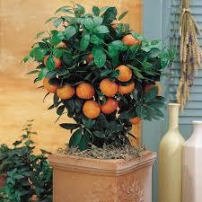 gurney s 4 in pot calamondin orange