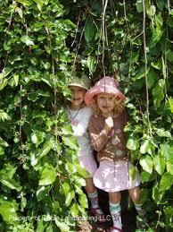 Mulberry U2013 Teas Weeping U2013 Fruit Trees For CommunityTeas Weeping Fruiting Mulberry Tree