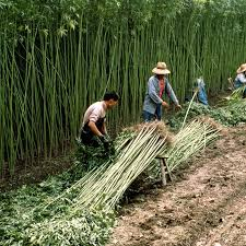 Mania For Chinas Hemp Related Companies Prompts Stock