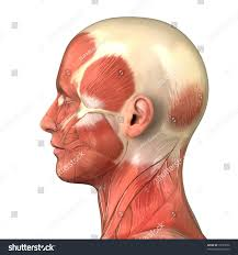 face anatomy muscle system of face anatomy of the right face male head muscular
