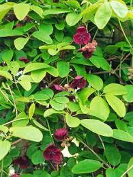 Plants U2014 Texas Parks U0026 Wildlife DepartmentClimbing Plants Texas